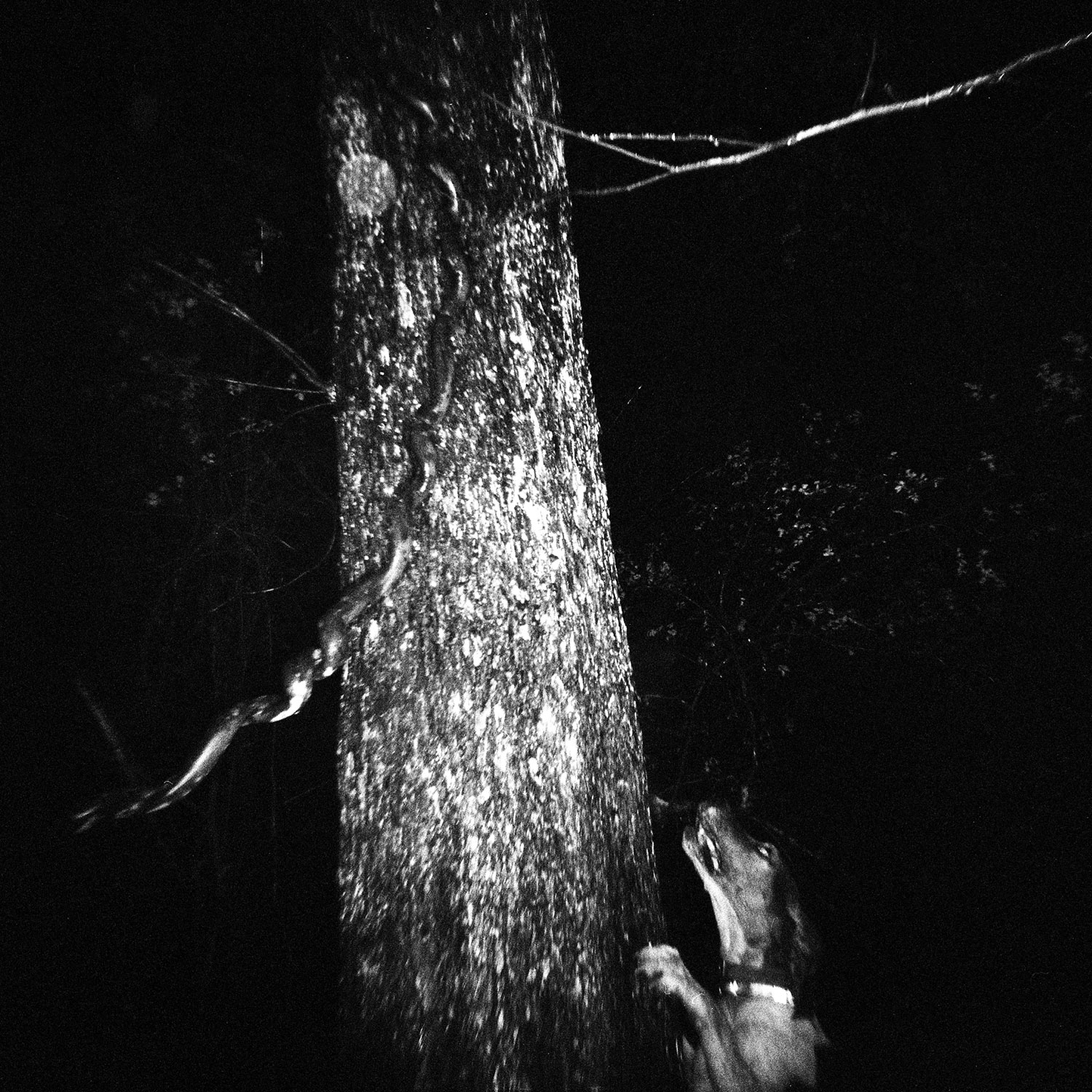 thibodeaux_coons_hunting_dogs_night_dark_woods_forest_south_rural_texas_sport_010.JPG
